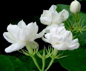 klasifikasi morfologi bunga melati manfaatnya