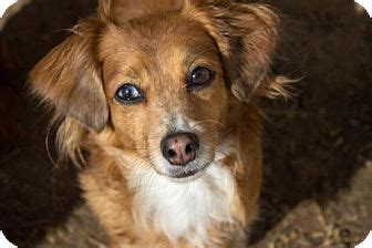 suzy  adopted dog flower mound tx dachshund