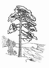 Coloring Pine Pages Coloringtop sketch template