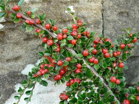 ba82c file bush branch with berries jpg wikimedia commons