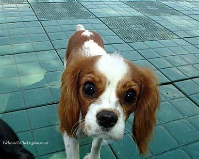 Cavalier Charles Spaniel King Dog Breeds Spaniels
