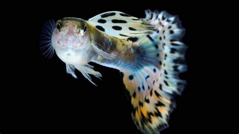home design and remodeling 5 reasons why guppies are the pet mnn