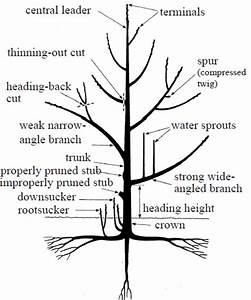 Why Prune Fruit Trees