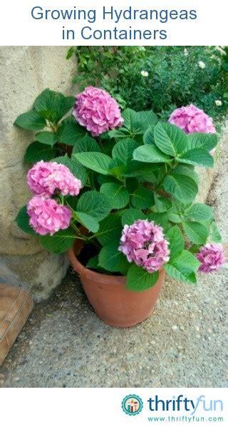 will hydrangeas grow in pots growing hydrangeas in containers thriftyfun