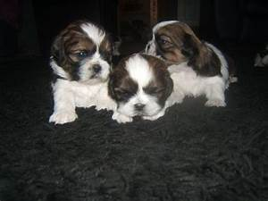shih-tzu full pedigree puppies brown & white | Sunderland ...