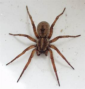 Introduction to Identifying Brown Spiders