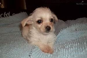Chi-Poo - Chipoo puppy for sale near Morgantown, West ...