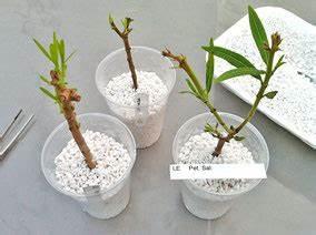 Oleander Stecklinge Wurzeln Nicht : oleander bewurzeln oleander haus ~ Lizthompson.info Haus und Dekorationen