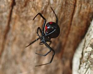 Two Deadly Spiders - What's the world's deadliest spider ...