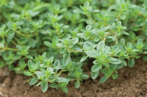 valentines day gifts thyme thujanol essential price aromatherapy