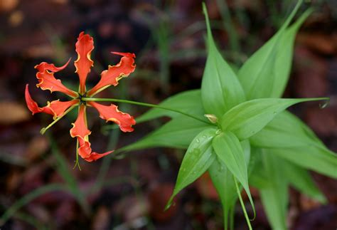 flame lily wallpapers images  pictures backgrounds