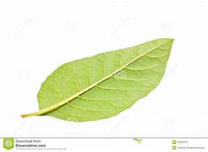 Single Green Leaf On Opposite Side Close Up Stock Photo ...