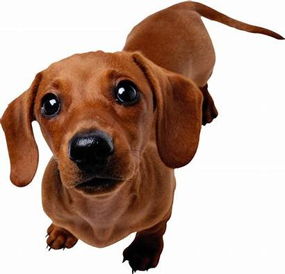 Dachshund Dog Dogs Avatar Avatars Animals Dreamland