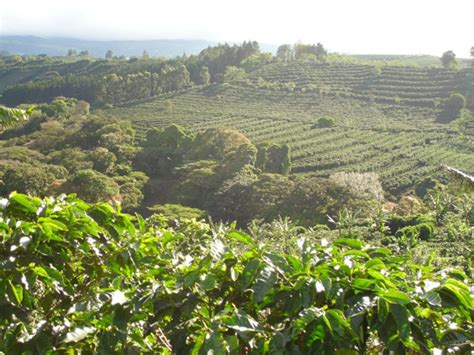 Starbucks Buying its First Coffee Farm, in Costa Rica   Daily Coffee News by Roast Magazine
