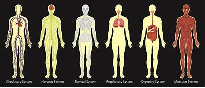 Human Many Veins System Blood Vessels Associated