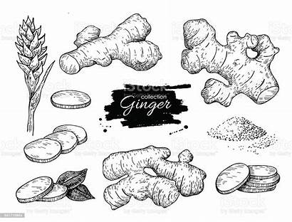 Ginger Vector Root Flower Hand Drawn Pieces