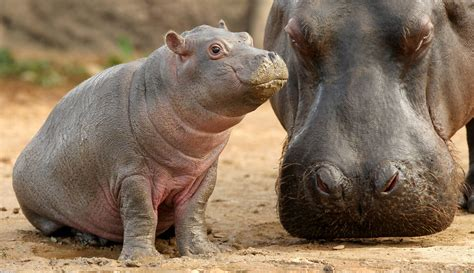 baby hippo hippopotamus wallpapers wallpaper cave