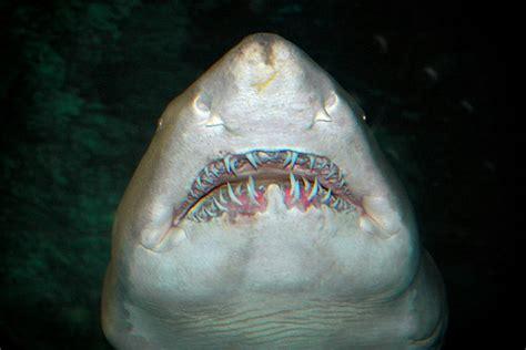 Sand Tiger Sharks Seaworld Pac Worlds