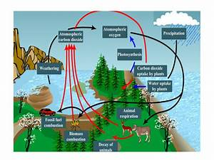 I Need An Explanation Of Oxygen Cycle With A Diagram