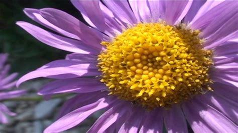 aster fiori aster alpinus fiori e piante della montagna bellunese 25