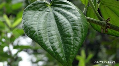 daun sirih obat herbal  ampuh mengobati sakit gigi   kerjanya info judi