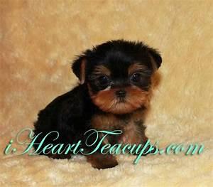 Yorkshire Terrier Teacup Size