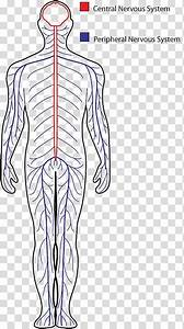 Central Nervous System Drawing Peripheral Nervous System