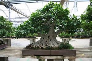 Ficus Bonsai Schneiden : birkenfeige ~ Indierocktalk.com Haus und Dekorationen