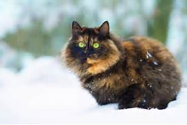 All You Need to Know About Torties  Torbies and Calico Cats  Torbie Cat