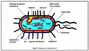 Structure Of Bacterial Cell  With Diagram