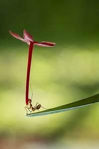 Wie Bekämpfe Ich Ameisen : bildergebnis f r ameise malvorlage ameisen insekten ~ Whattoseeinmadrid.com Haus und Dekorationen