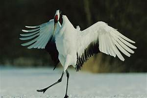 A Japanese Or Red-crowned Crane Grus Photograph by Tim Laman