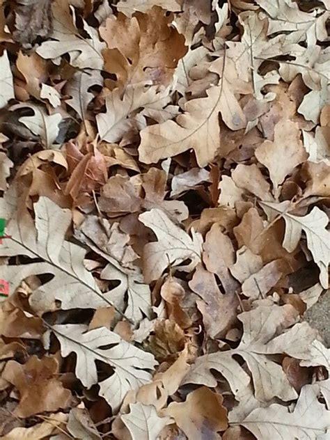 bur oak leaves brown aesthetic shades of beige color set