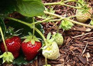Erdbeeren Wann Pflanzen : erfahren sie hier alles ber erdbeeren pflanzen pflegen und ernten ~ Watch28wear.com Haus und Dekorationen