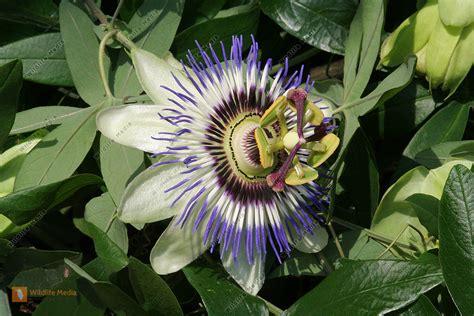 bestellen passionsblume passiflora bild bildagentur
