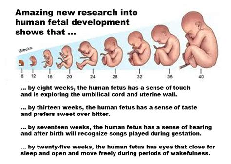 Janin Wikipedia Fetal Development Fetal Programming