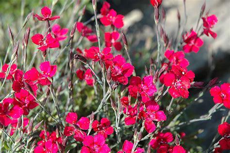 Brilliant Maiden Pinks (Dianthus deltoides 'Brilliant') in ...
