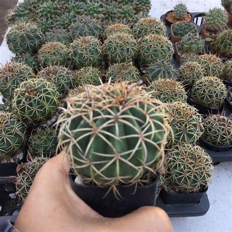 Melo Cactus ขนาด 6-8 ซม.#แคคตัสราคาถูก# เมโล หนามตะกร้อ ...