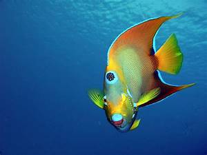 Fab Photos Friday: Angelic Angelfish   Travels with Tam!