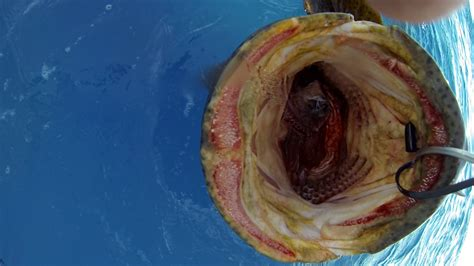 grouper giant shark teeth eats mouth