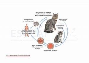 Life Cycles | GL1/MG1: Worm Control in Dogs and Cats | ESCCAP
