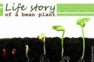 A Slight Sneak Peek At The Life Cycle Of A Bean Plant