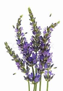 Fresh lavender plant flowers over white
