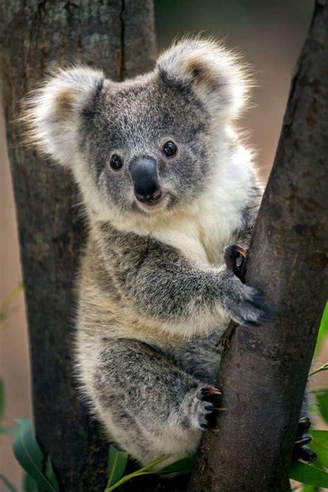 koala bear cute animals cute koala bear animals beautiful