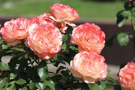 Mīļoto rozi var pavairot. Padomi potzaru sagatavošanai ...