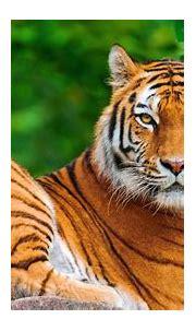 Tiger 4k Wallpapers - Top Free Tiger 4k Backgrounds ...