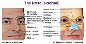 anatomy of nose - Google Search | Art | Pinterest | Search ...