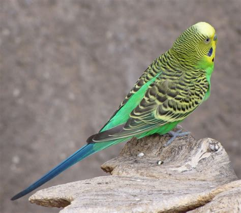 Budgerigar - song / call / voice / sound.