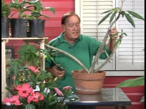 frangipani care in pots plants growing needs growing plumeria plants