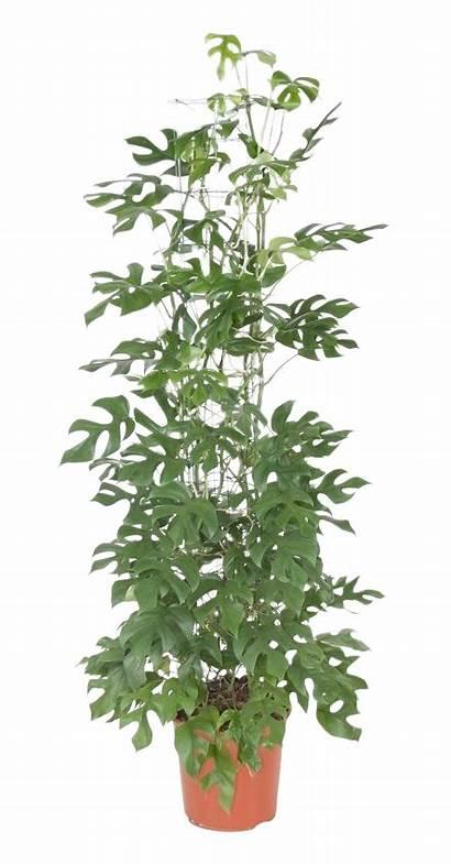 Minima Monstera Plant Hole Tetrasperma Rhaphidophora Eksklusiv